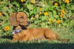 Σκυλί λουκάνικων Στοκ Φωτογραφία