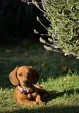 Σκυλί λουκάνικων Στοκ Εικόνες
