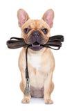 Σκυλί λουριών έτοιμο για έναν περίπατο Στοκ φωτογραφία με δικαίωμα ελεύθερης χρήσης