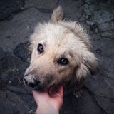 Σκυλί οδών που εξετάζει τη κάμερα Στοκ Εικόνα