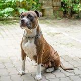 Σκυλί πίτμπουλ Στοκ Εικόνες