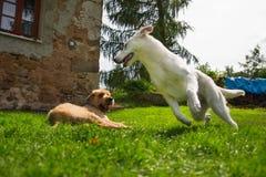 Σκυλί παιχνιδιού δύο Στοκ φωτογραφία με δικαίωμα ελεύθερης χρήσης