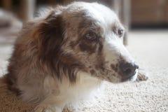 σκυλί παλαιό Στοκ εικόνα με δικαίωμα ελεύθερης χρήσης