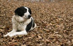 Σκυλί ποιμένων με το υπόβαθρο φθινοπώρου Στοκ Φωτογραφία