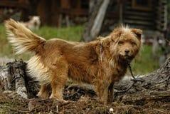 Σκυλί ποιμένων Στοκ Εικόνα