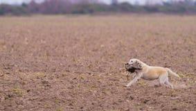 Σκυλί που ανακτά έναν φασιανό Στοκ Εικόνα