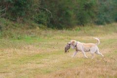 Σκυλί που ανακτά το φασιανό Στοκ φωτογραφία με δικαίωμα ελεύθερης χρήσης