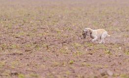 Σκυλί που ανακτά το φασιανό Στοκ Εικόνες