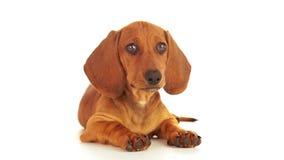 Σκυλί που ανατρέχει