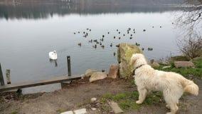 Σκυλί που αντιμετωπίζει τις πάπιες Στοκ φωτογραφίες με δικαίωμα ελεύθερης χρήσης