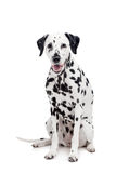 Σκυλί, που απομονώνεται δαλματικό στο λευκό Στοκ Φωτογραφίες