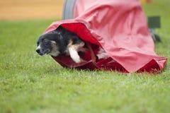 Σκυλί που βγαίνει από την κόκκινη σήραγγα, που ανταγωνίζεται σε έναν υπαίθρια ανταγωνισμό ευκινησίας Στοκ εικόνα με δικαίωμα ελεύθερης χρήσης