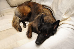 Σκυλί που βρίσκεται στον καναπέ στοκ εικόνες
