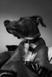 Σκυλί που βρίσκεται στο κρεβάτι γραπτό Στοκ φωτογραφία με δικαίωμα ελεύθερης χρήσης