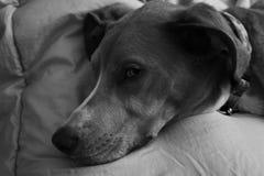 Σκυλί που βρίσκεται στο κρεβάτι γραπτό Στοκ εικόνες με δικαίωμα ελεύθερης χρήσης