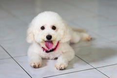 Σκυλί που βρίσκεται στο πάτωμα Στοκ Φωτογραφίες