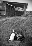 Σκυλί που γρατσουνίζει την πλάτη του Στοκ εικόνα με δικαίωμα ελεύθερης χρήσης