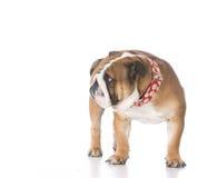 Σκυλί που είναι ντροπιασμένο Στοκ Εικόνα