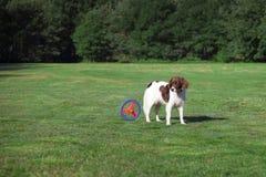Σκυλί που εξετάζει έναν κινούμενο δίσκο σε ένα λιβάδι στοκ εικόνες με δικαίωμα ελεύθερης χρήσης