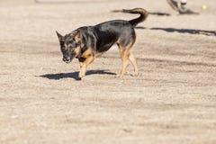 Σκυλί που εξετάζει σας Στοκ Εικόνα