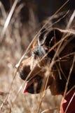 Σκυλί που εξετάζει την απόσταση σε έναν τομέα στοκ φωτογραφία