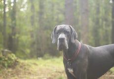 Σκυλί που εξετάζει τη κάμερα σοβαρά Στοκ Εικόνα