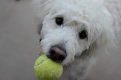 Σκυλί που θέλει να παίξει Στοκ Εικόνα