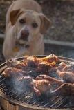 Σκυλί που θαυμάζει το ψημένο στη σχάρα κοτόπουλο Στοκ Εικόνες