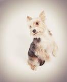Σκυλί που ικετεύει τη συγχώρηση στοκ φωτογραφίες με δικαίωμα ελεύθερης χρήσης