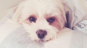 σκυλί που κουράζεται Στοκ φωτογραφίες με δικαίωμα ελεύθερης χρήσης