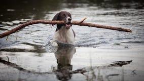 Σκυλί που κολυμπά με έναν μεγάλο κλάδο στο στόμα του Στοκ φωτογραφία με δικαίωμα ελεύθερης χρήσης