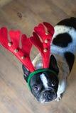 Σκυλί που ντύνεται για τα Χριστούγεννα Στοκ εικόνα με δικαίωμα ελεύθερης χρήσης