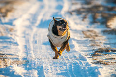 Σκυλί που οργανώνεται γρήγορα Στοκ Φωτογραφία