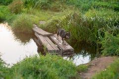 Σκυλί που οργανώνεται μέσω της ξύλινης γέφυρας Στοκ φωτογραφία με δικαίωμα ελεύθερης χρήσης