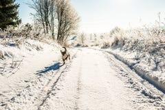Σκυλί που οργανώνεται στο χειμερινό δρόμο Στοκ εικόνα με δικαίωμα ελεύθερης χρήσης