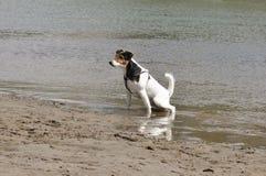 Σκυλί που ουρεί στον ποταμό στοκ φωτογραφία με δικαίωμα ελεύθερης χρήσης
