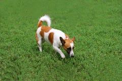 Σκυλί που περπατά στη χλόη Στοκ εικόνες με δικαίωμα ελεύθερης χρήσης
