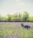 Σκυλί που περπατά στον τομέα με το ιώδες εκλεκτής ποιότητας ύφος λουλουδιών Στοκ φωτογραφία με δικαίωμα ελεύθερης χρήσης