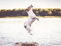Σκυλί που πηδά στο νερό που έχει τη διασκέδαση στη θερινή παραλία Στοκ Φωτογραφίες