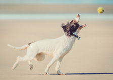 Σκυλί που πιάνει τη σφαίρα Στοκ Φωτογραφία
