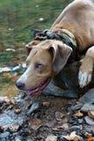 Σκυλί που σκύβει από τον ποταμό στο βράχο Στοκ Φωτογραφία
