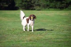 Σκυλί που στέκεται με μια σφαίρα στο στόμα του Στοκ Φωτογραφία
