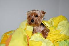 Σκυλί που στηρίζεται στο κρεβάτι Στοκ Φωτογραφίες