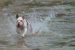 Σκυλί που τρέχει κατά μήκος της παραλίας στοκ φωτογραφίες