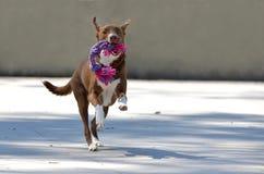 Σκυλί που τρέχει με ένα παιχνίδι στην κατεύθυνση καμερών Στοκ φωτογραφία με δικαίωμα ελεύθερης χρήσης