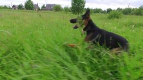 Σκυλί που τρέχει με το ραβδί στο στόμα κλείστε επάνω steadicam πυροβολισμός κίνηση αργή απόθεμα βίντεο