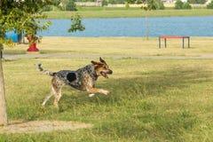 Σκυλί που τρέχει σε ένα πάρκο, με τα μπροστινά πόδια στον αέρα Στοκ Φωτογραφία