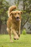 Σκυλί που τρέχει σε ένα πάρκο Στοκ Εικόνα