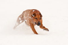 Σκυλί που τρέχει σε ένα χιόνι Στοκ Εικόνα