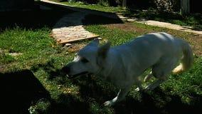 Σκυλί που τρέχει στη χλόη φιλμ μικρού μήκους
